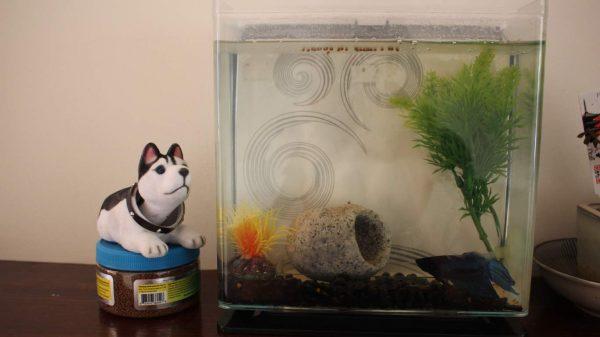 Fish loves the nodding dog by his tank in Perth, Western Australia